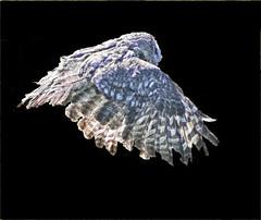 Flight of the owl (Gill Stafford) Tags: gillstafford gillys image photograph wales welsh mountainzoo zoo colwynbay rhosonsea conwy monkey owl flight free bird