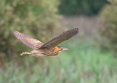 Bittern (wryneck94) Tags: birdwatching somersetlevels somerset