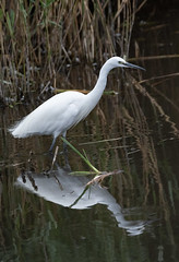 Little Egret with reflection (wryneck94) Tags: birdwatching somersetlevels somerset