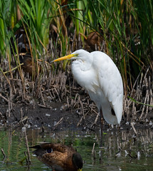 Great White Egret (wryneck94) Tags: birdwatching somersetlevels somerset