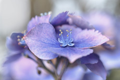 Blue Star (shawn~white) Tags: blue flower floral purple bokeh romantic dreamy hydrangea elegance enchanting fujifilmxt20 ©shawnwhite summer macro closeup hortensia
