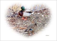 He and She ... 💕 (ljucsu) Tags: outdoor lifeonthelake mallard wildduck anasplatyrhynchos waterbirds aquaticbirds birds thetwo pairs photoscape ngc npc