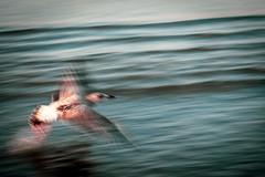 Junior Take-Off (NathalieSt) Tags: europe france hérault lagrandemotte languedocroussillon occitanie leverdesoleil nature nikon nikond750 nikonpassion nikonphotography sunrise seagull goeland young bird oiseau vol flight décollage takeoff