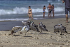 This Looks Like a Good Spot! (Michael F. Nyiri) Tags: lagunabeach beach sand birds seagulls california southerncalifornia pacificocean
