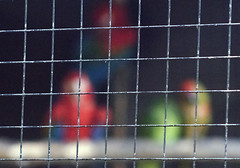 Captive parrots (Gill Stafford) Tags: gillstafford gillys image photograph wales northwales conwy welsh mountain zoo bars cage prisoners imprisoned captive