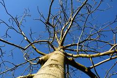 (borgosesiamax) Tags: cielo albero vita