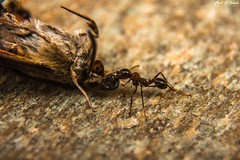 Ant Vs Moth (vrtour.gr) Tags: ant moth butterfly macro macrophotography insect insects lepidoptera formicidae photography nikon night dead life nature animal animals