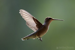 Zippy (right2roam) Tags: hummingbird flying hovering rufous selasphorusrufus washington pacificnorthwest bird birding wildlife wild animal chainlake wings right2roam