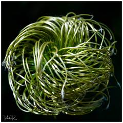 Twist in the Dark (PhilR1000) Tags: macro nationaltrust greyscourt plant clemaatis seeds twist