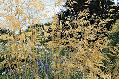 RHS Wisley 006_6580 (Mike Snell Photography) Tags: royalhorticulturalsociety rhs rhswisley wisley garden gardens flowers flora floral shrub plants nature environment conservation surrey england horticulture grass grasses