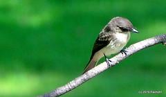 DSC_0850 (RachidH) Tags: birds oiseaux phoebe sparta nj newjersey easternphoebe sayornisphoebe moucherollephébi moucherolle rachidh nature