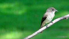 DSC_0846 (RachidH) Tags: birds oiseaux phoebe sparta nj newjersey easternphoebe sayornisphoebe moucherollephébi moucherolle rachidh nature