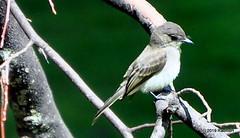 DSC_0853 (RachidH) Tags: birds oiseaux phoebe sparta nj newjersey easternphoebe sayornisphoebe moucherollephébi moucherolle rachidh nature