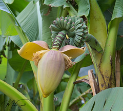 RSH Wisley 006_6559 (Mike Snell Photography) Tags: royalhorticulturalsociety rhs rhswisley wisley garden gardens flowers flora floral shrub plants nature environment conservation surrey england horticulture musabasjoo japanesebanana