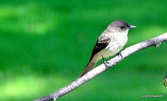 DSC_0848 (RachidH) Tags: birds oiseaux phoebe sparta nj newjersey easternphoebe sayornisphoebe moucherollephébi moucherolle rachidh nature