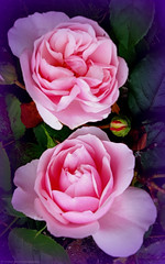 Double Act (Rollingstone1) Tags: roses two pink garden flora nature vivid colour happy double rose art artwork avantgarde