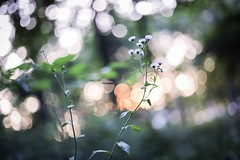 sunset bokeh (Yuki (8-ballmabelleamie)) Tags: forest woods bushes grove trees green evening nature 50mmlens wildflowers