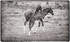 Potros jugando (candi...) Tags: potros caballos animales campo equinos sonya77ii airelibre naturaleza nature