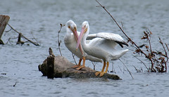 Will You Be My Friend? (Kaptured by Kala) Tags: pelecanuserythrorhynchos americanwhitepelican whiterocklake dallastexas sunsetbay aquaticbird aquatic waterfowl wings wingspan driftwood youngpelican visitor
