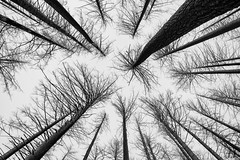 Ghosts (Joshua Johnston Photography) Tags: trees forest eaglecreekfire columbiarivergorge oregon pacificnorthwest pnw joshuajohnston sonya7iii sonyfe28mmf2 blackandwhite bnw death nature