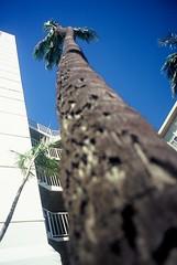 Looking Up (goodfella2459) Tags: nikonf4 kodakelitechromeextracolor100 35mm e6 slidefilm analog colour color tree honolulu hawaii