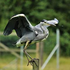 I smoke what I want, where I want and how I want (Paul wrights reserved) Tags: heron bird birding birds birdphotography birdwatching birdinflight lol fencedfriday fencefriday
