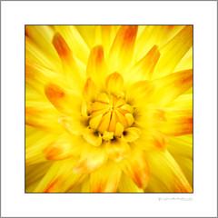 Close up to a dahlia (G. Postlethwaite esq.) Tags: macro unlimitedphotos closeup dahlia flower petals photoborder stilllife yellow