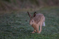 Meister Lampe (wsprecher) Tags: hase feldhase wildlife lepus europaeus rheintal wsnaturpic