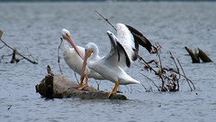 May I Join You? (Kaptured by Kala) Tags: pelecanuserythrorhynchos americanwhitepelican whiterocklake dallastexas sunsetbay aquaticbird aquatic waterfowl wings wingspan driftwood youngpelican visitor