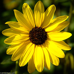 Square Sunflower (Jim Frazier) Tags: 2019 20190723cantigny 2019cantigny asteraceae helianthus helianthushybrida herbaceous afternoonlight annual beautiful beauty bloom blooming blossoming blossoms botanic botanicgardens botanical botanicalgardens cantigny cantignypark centered centralperspective closeup detail dupage dupagecounty flora floral flowering flowers forbs formalgardens gardening gardens headon horticulture il illinois jimfraziercom july linedup lowerburoakgarden macro middaylight museums natural nature parks perpendicular photowalk plants pov preserves publicgardens square squaredcircle study summer sunflower sunny symmetrical symmetry texture tocantignylizandjeff wheaton yellow q4 f10 fastpictures loadcode201908