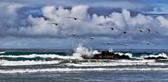 Pelicans - Coming in Ahead of the Storm (iseedre) Tags: scrippsbeach ocean splashing rockoutcropping pelicans flight stormclouds