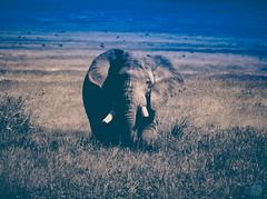 CURIOSITY (eliewolfphotography) Tags: elephant elephants africa african animals pachyderm tanzania safari safariphotography nature naturelovers nikon naturephotographer natgeo ngorongoro ngorongorcrater travel