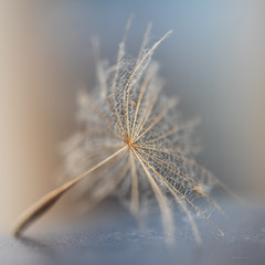 delicacy (Simon[L]) Tags: seed light feathery macro pastel one single individual separation canonfd50mmf35macro