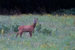 Brocard à une oreille (Richard Holding) Tags: chevreuil deer m43 olympus omd roe roedeer