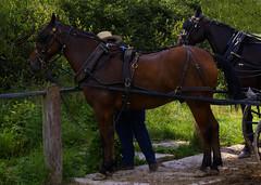 Amish Dude and Horses (ghostlyfour2) Tags: amish mercercountypa mercercounty pennsylvania horse nature fujifilm fujifilmxt3 fujinon fujinon55200mm