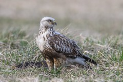 Rough-legged buzzard (JS_71) Tags: nature wildlife nikon photography outdoor 600mm bird animal poland nikkor d500 wildbirds