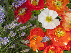 Natuur, bloemen (George Ino) Tags: bloemen flowers georgeinocopyright georgeinohotmailcom natuurnaturenatur thenetherlandsnederlandholland utrecht fiori fioritura flor efflorescence lavender lavendel icelandpoppy klaproos poppy dofbokeh depthoffield