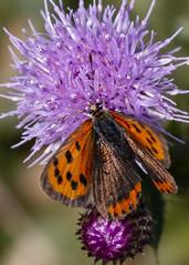 Small Copper Butterfly ( Lycaena phlaeas ) (DaveGray) Tags: canoneos70d pembrokeshirecoastnationalpark skomerisland smallcopperbutterfly lycaenaphlaeas