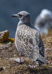 Lesser black-backed Gull ( Larus fuscus ) (DaveGray) Tags: canoneos70d pembrokeshirecoastnationalpark skomerisland juvenile firstwinter birds larusfuscus lesserblackbackedgull