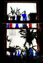 hybrid & species orchid in the kitchen window 7-19 (nolehace) Tags: kitchen window 719 orchid species hybrid blue red glass bottle summer nolehace sanfrancisco fz1000 plant flower bloom