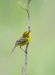 Prairie Warbler.Lake hope Ohio. (mandokid1) Tags: canon 1dx ef600mm11 birds warblers