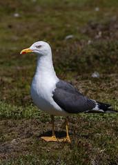 Lesser black-backed Gull ( Larus fuscus ) (DaveGray) Tags: canoneos70d pembrokeshirecoastnationalpark skomerisland birds lesserblackbackedgull larusfuscus