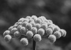 IMG_32940147 (DaveGray) Tags: canoneos70d pembrokeshirecoastnationalpark skomerisland bw