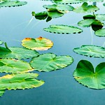 Edwards Gardens - Lily Pads - Botanical Visit in Downtown Toronto  - Canada thumbnail