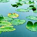 Edwards Gardens - Lily Pads - Botanical Visit in Downtown Toronto  - Canada