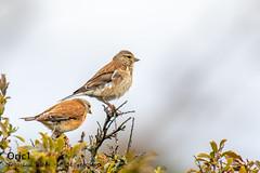 Linottes mélodieuses (Oric1) Tags: breizh france eos oric1 côtesdarmor jeanluc molle sport 120300mm 22 bretagne canon armorique brittany jeanlucmolle oiseau bird couple