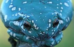 DSC06778 (Argstatter) Tags: australischer baumfrosch korallenfinger blau tier natur porträt frosch frogs