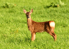 Roe deer fawn (George Findlay) Tags: roe deer fawn nikon sigma ayrshire