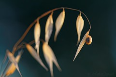 Poetic nature - Nature poétique (Sebastien Vermande (Only the Weekend)) Tags: canon100d france midipyrénées lot bokeh macro été summer macrophotography animal macrolens macrophotographie mollusque nature wild plante plant sigma150macroexdg sigmaapoteleconverter14xexdg vermande escargot snail