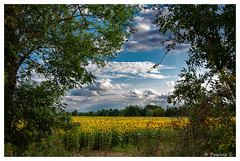 Jaune tournesol (Pascale_seg) Tags: paysage landscape countryscape field campagne champ tournesol sunflower girasole jaune giallo yellow sky cielo nuages ciel clouds nuvoli été summer estate nikon moselle lorraine grandest france nature natura terre terra earth